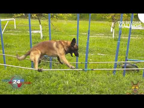 The Skills of this Belgian Malinois Dog are #Incredible😳