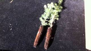 Planting Evergreen Seedling Plugs