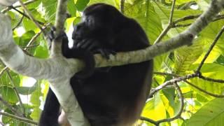 Singe hurleur mâle (alouatta caraya) dans le parc de Cahuita