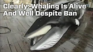 Clearly: Whaling Is Alive And Well Despite Ban