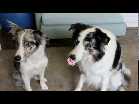 Pacifier Trick - Dog Tricks