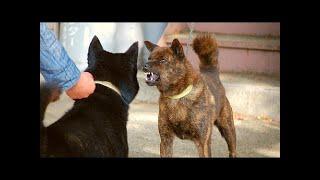 カイケンやトラインヌ(Tiger Dog)は、本州のカイ(山梨県)の孤立した...