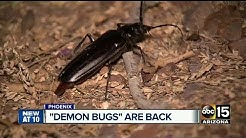 Palo Verde Beetles are back, just in time to mate