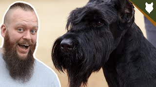 BREED 101 GIANT SCHNAUZER! Everything You Need To Know About The Giant Schnauzer