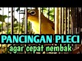 Pancingan Pleci Agar Nembak Dan Buka Paruh  Mp3 - Mp4 Download