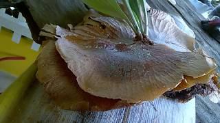 Como Fazer Muda de Chifre de Veado com Base da Folha de Coqueiro