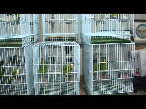 White-bellied Parrot/Blue-headed Parrot/White fronted amazon parrot