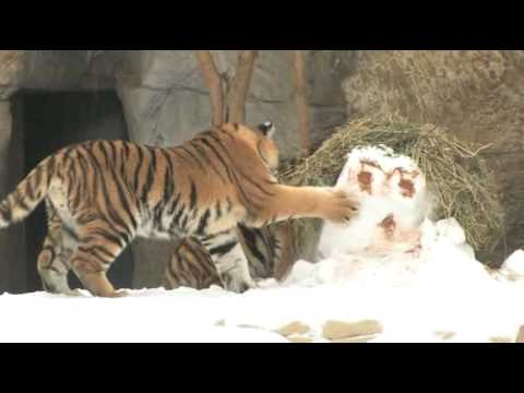 Tiger cubs play in the snow at the St. Louis Zoo
