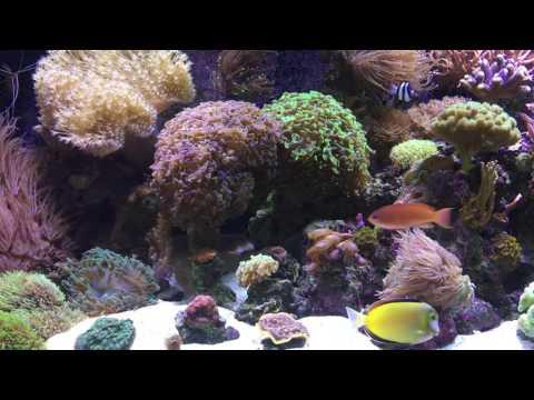 Keeping Reef Fish - Focus On Tangs
