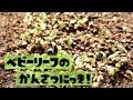 【家庭菜園】ベビーリーフとばぁちゃんの野菜を観察する【ロログリーン・ロロロッサ・グリーンオーク・赤シソ・白菜】