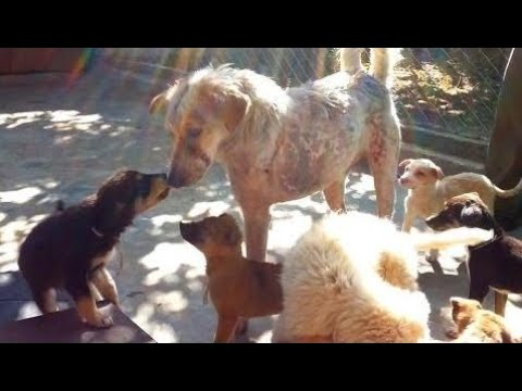 Puppies help injured dog Tony heal at Animal Aid Unlimited, India - Animals Rescued  Ep 131