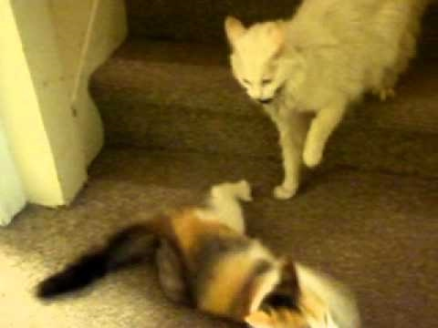 Cat attacks Kitten