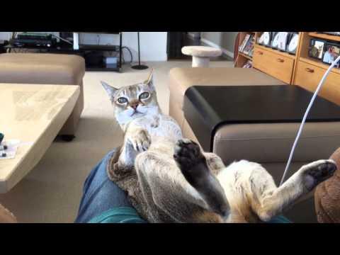 A very trusting guy...  (singapura cat)