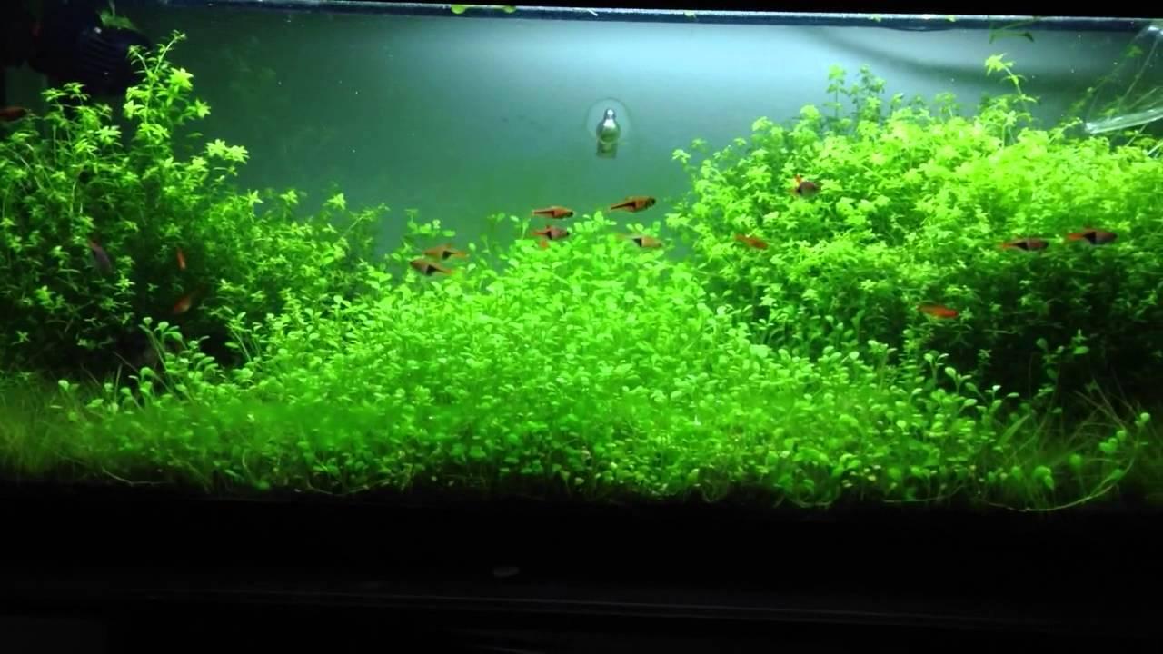 How To Grow Glossostigma Carpet Youtube