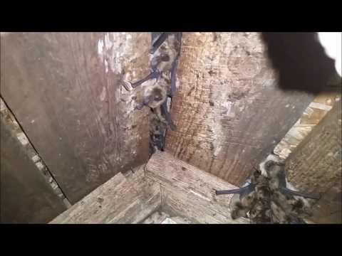 Kitchener Waterloo Bat Removal