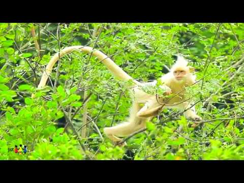 ALBINO FRANCOIS LEAF MONKEY SPOTTED IN SOUTH CHINA# A RARE ENDANGERED SPECIES