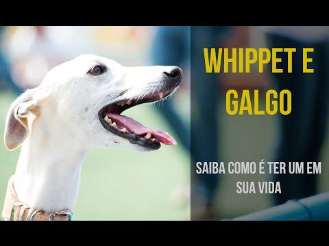 Whippet e Galgo - Saiba como é ter um em sua vida