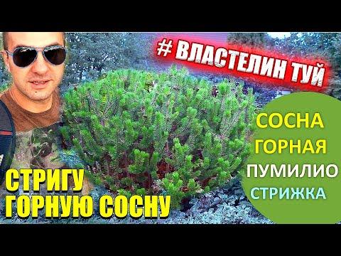 ! СОСНА ГОРНАЯ! перваяСТРИЖКА /ФОРМИРОВКА/pinus MUGO PUMILIO