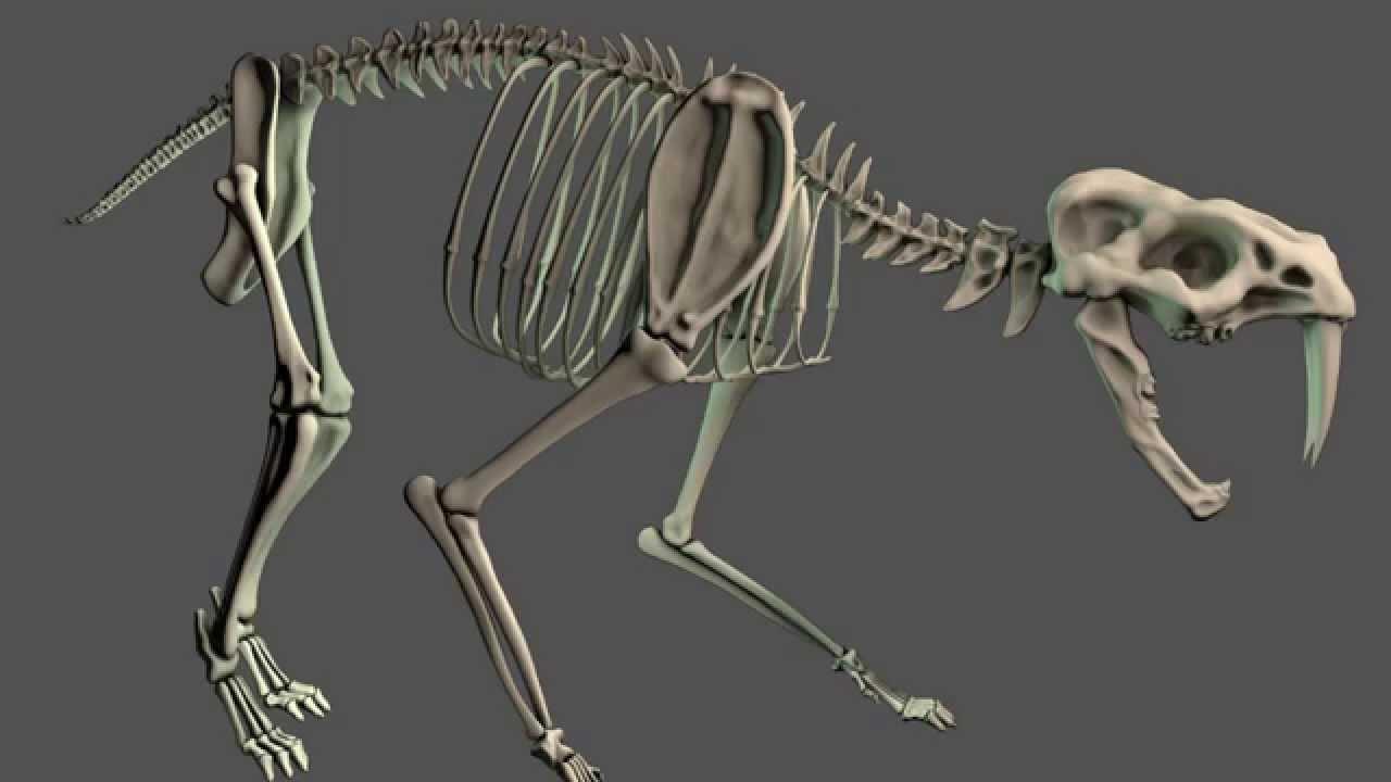 Sabre Tooth Skeleton - YouTube