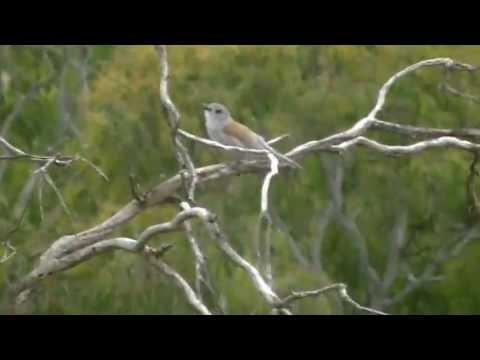 Australian Songbird: Grey Shrike-thrush