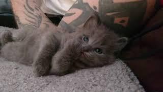 Darling Nebelung Baby Kitten