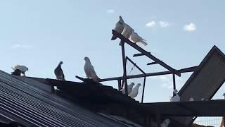 Чужая стая голубей