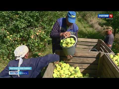 В садоводческих хозяйствах Брянщины начался сбор яблок