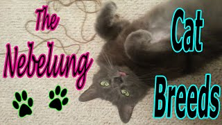 CAT BREEDS (The Nebelung) Identify Top 10 Longest Living Cats & Kittens info
