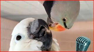 Смотреть самые смешные поющие попугаи! видео 2018 #6 видео приколы