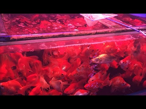 How Are These Goldfish Still Alive? Is This Overstocked?