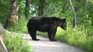 Black Bear with Cub - Encounter in Smoky Mountains (May 2011)