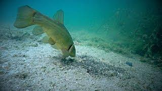 ЛИНЬ НА ЖМЫХ ПОДСОЛНЕЧНИКА Реакция рыбы Подводная съемка