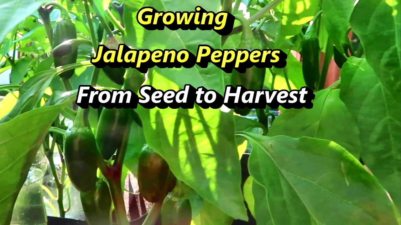 Growing Jalapeno Hot Peppers from seed to harvest