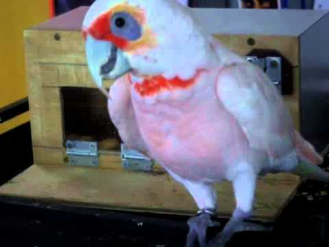 Long-billed cockatoo