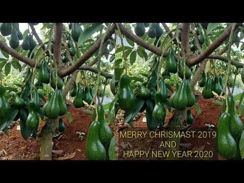 @ Israel / CUTTING AVOCADO TREES TO SHORT AND QUICK FRUIT