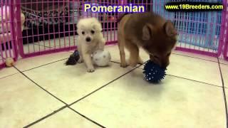 Pomeranian, Welpen, Für, Verkauf, In, Nordrhein Westfalen, Deutschland, Bayern, Hessen