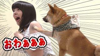【子犬】豆柴と仲良くしたかったゆなです【とくにかく可愛い】 thumbnail