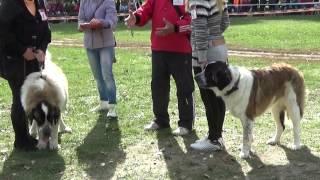 """Сенбернары и другие большие собаки. Областная выставка собак """"Сумы-осень 2015"""""""