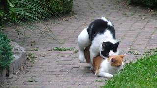 Mating Cats / Parende katten with Mom Cat Pino. Look also at her beautiful born kittens!