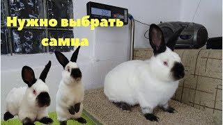 Выбор самца кролика для воспроизводства