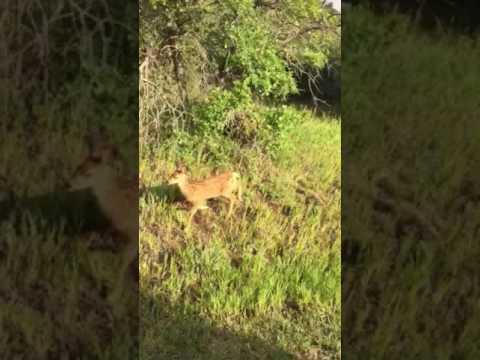 Mesa Verde Deer 2016