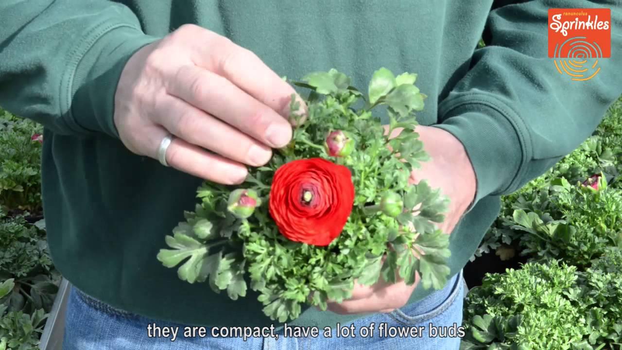 Ranunculus Sprinkles Paul Cox Gartenbau 2015 Eng Subs Youtube