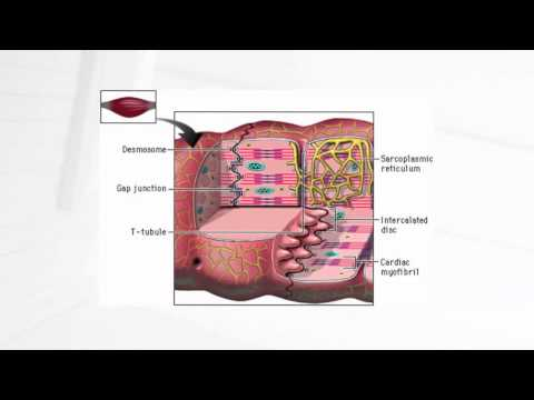 cardiac muscle cell - YouTube