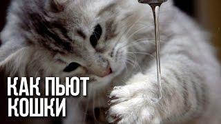 КАК ПЬЮТ КОШКИ / Интересные факты о кошках