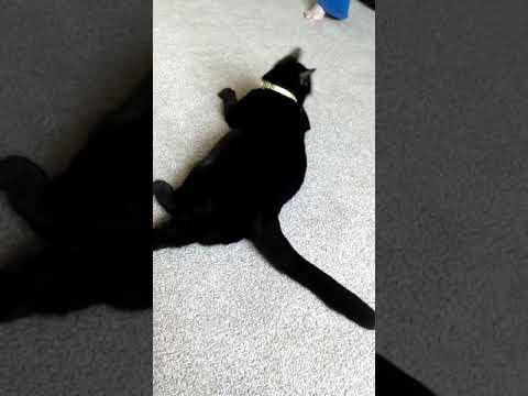 1 minute 12 seconds of my mum's cat playing