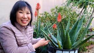 Trồng nha đam ở vườn nhà chữa mụn thịt, sinh tố nha đam ( người Việt ở Mỹ )