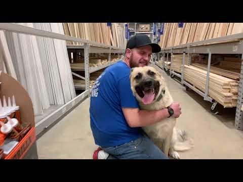 Best Dog Training Toledo, Ohio! 2 year Old Great Pyrenees German Shepherd Mix, Jasper!