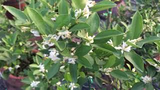Trồng quất cảnh tết cách hãm nước cho ra hoa nhiều ở kẽ lá