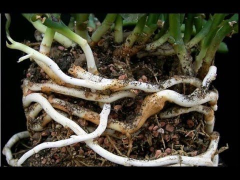 Rhizomes: Definition & Examples | What is a Rhizome? | Plant Anatomy