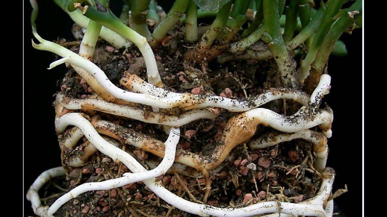 Rhizomes: Definition & Examples | What is a Rhizome? | Plant Anatomy ...